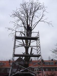 Kastanjeboom van 12mtr hoog